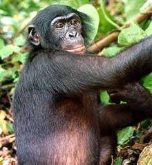 220px-bonobo